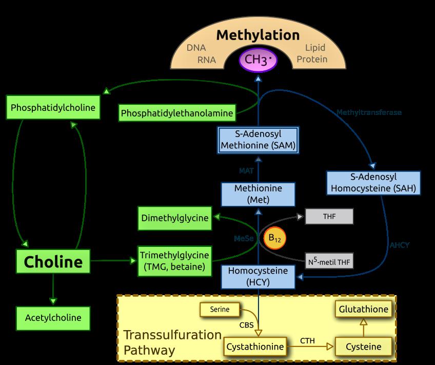 848px-Choline_metabolism-en.svg.png