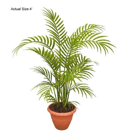 areca-palm-tree-dypsis-lutescens-10-01-b-realpalmtrees.com_3.jpg