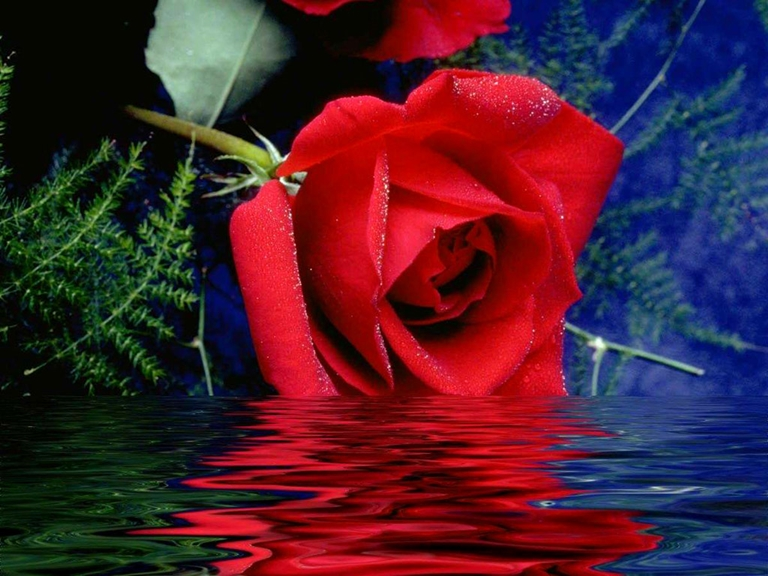 Beautiful_red_rose333[1]2.jpg