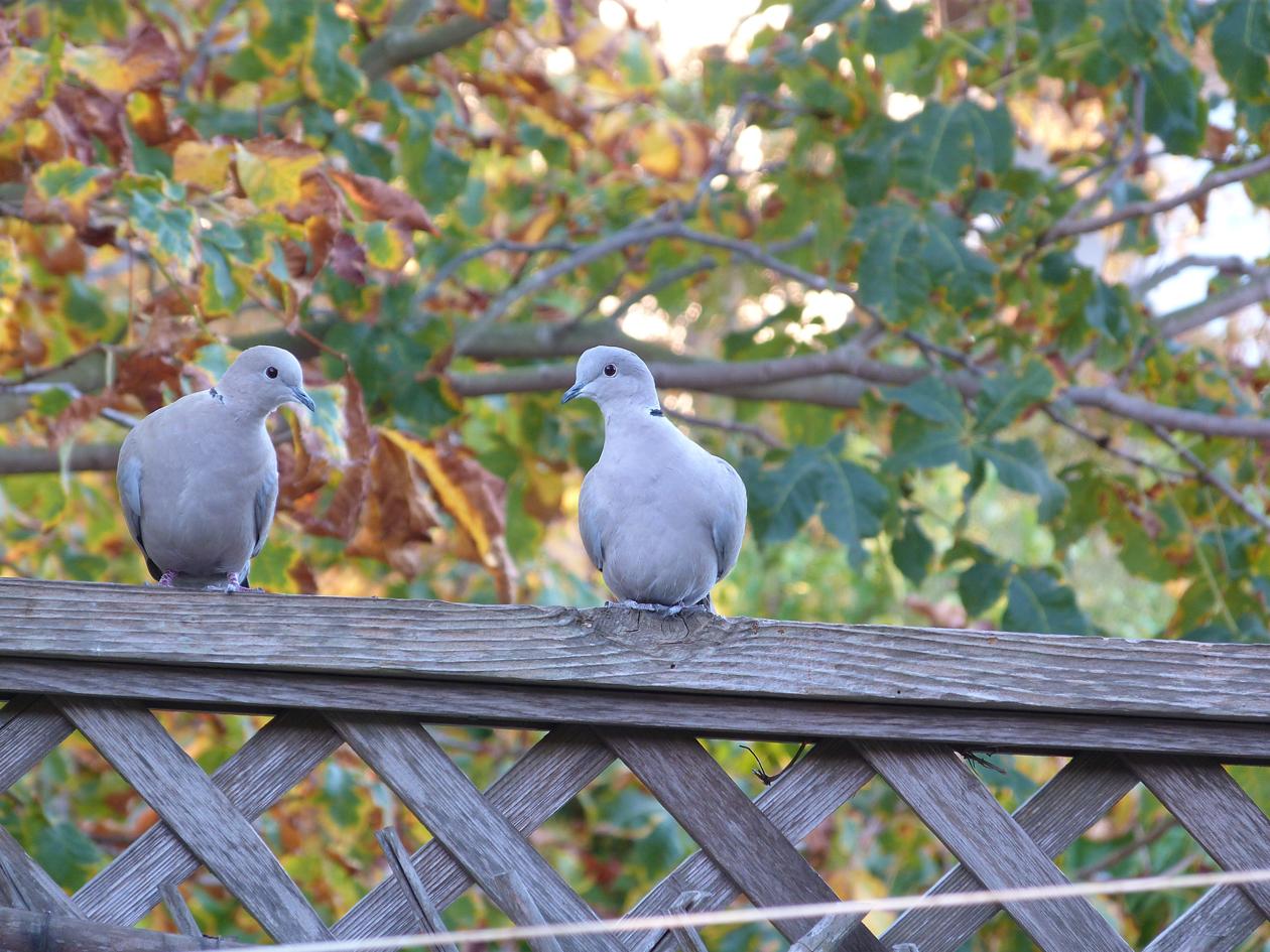 doves 2.jpg