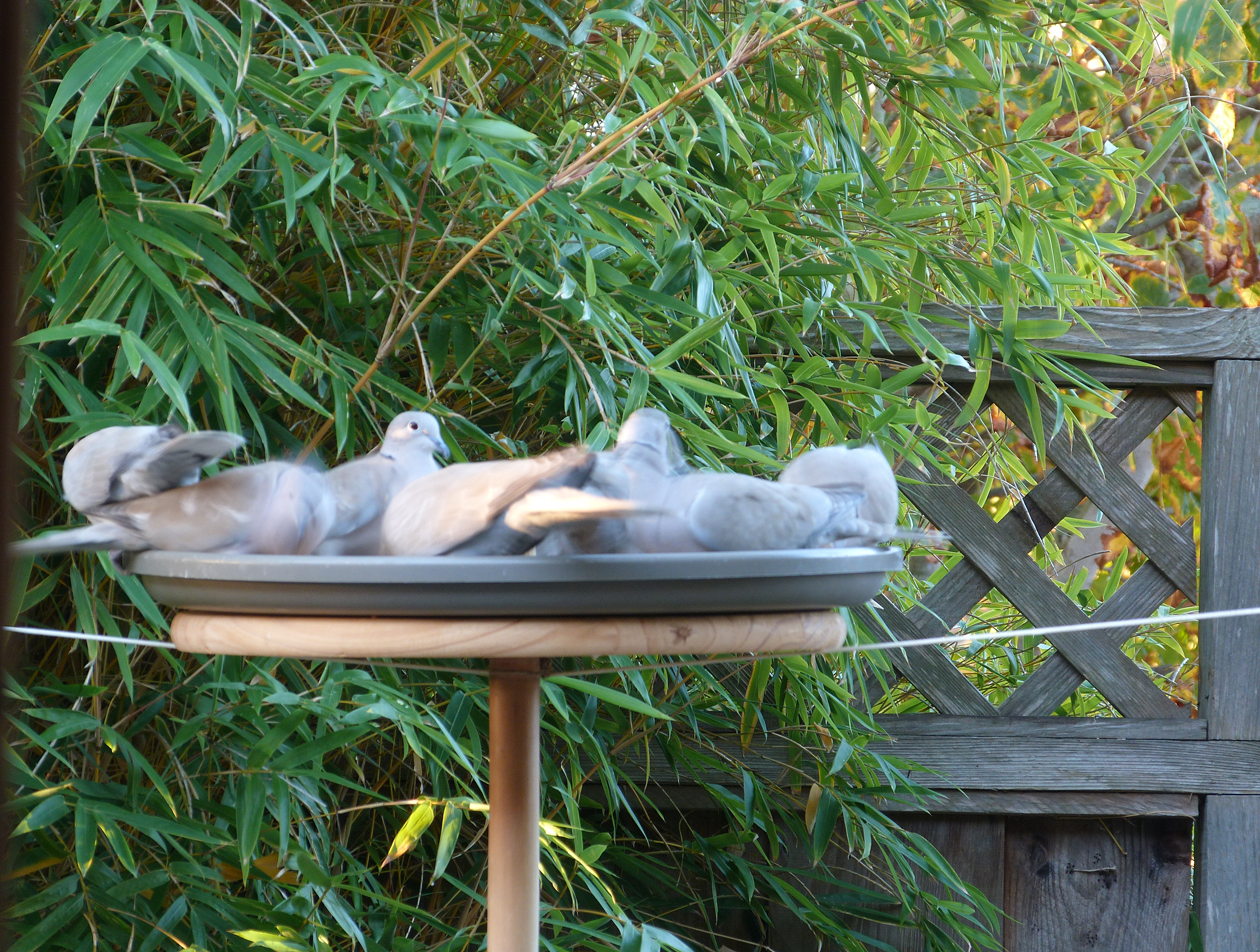 doves at feeder.jpg