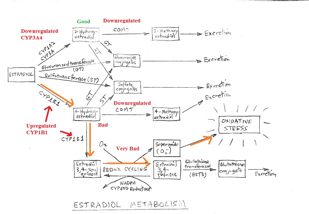 estradiol metabolism.jpg