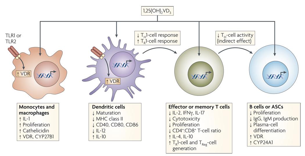 Figure 2 Mechanisms of vitamin D immunomodulation.jpg