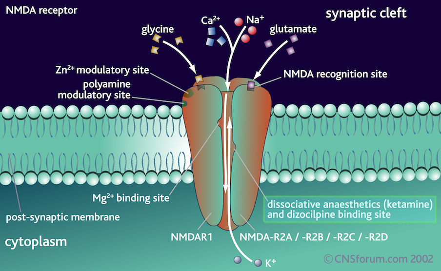NMDA Receptor And Its Binding Sites.png
