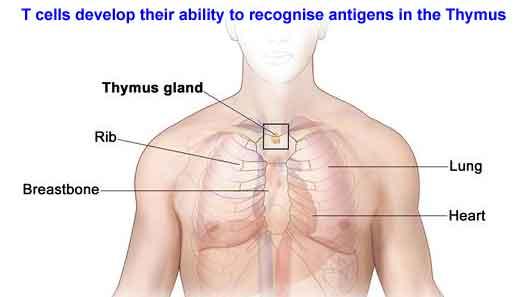 T-cells-in-Thymus.jpg