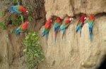 Macaw-Manu..jpg