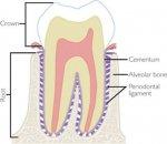 Periodontal Ligament 2.jpg
