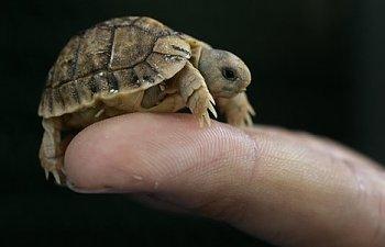 egyptian-tortoise.jpg
